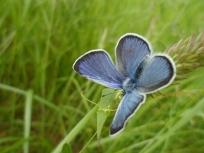Papillon azuré bleu