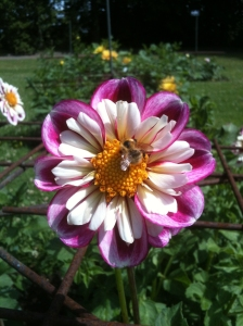 Dahlias Bumble Rumble