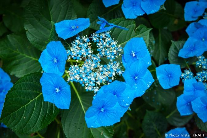 """Hydrangea """"Bleu-bleu Vasterival"""""""