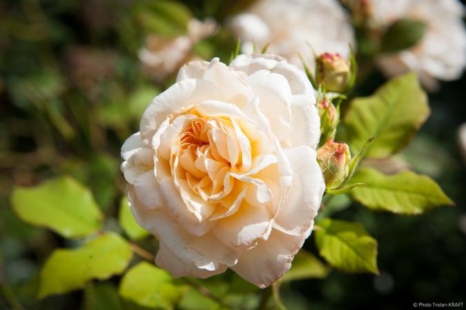 Jardin de Givergny - Claude_Monnet-4.jpg