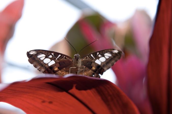 Papillon sur cordylline.jpg