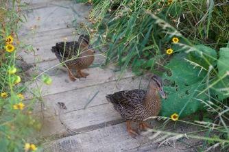 Au détour du jardin Le monde de Léo, les canards de la Saline se promènent