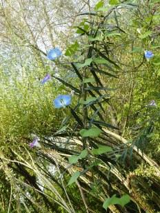 Détail de fleurs grimpant sur les rejets de saules