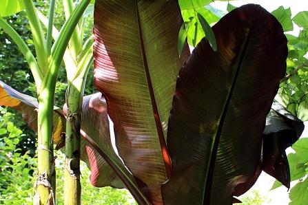 Bananier pourpre
